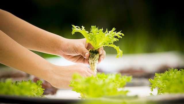 Come funziona la coltivazione idroponica